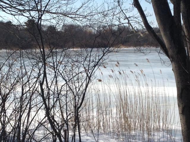 Gloucester reeds