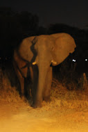 elephant at night