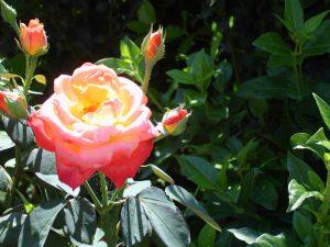 Novafeltria flower